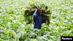FILE: A farm worker harvests tobacco leaves at a farm ahead of the tobacco selling season in Harare, Zimbabwe, March 3, 2015.