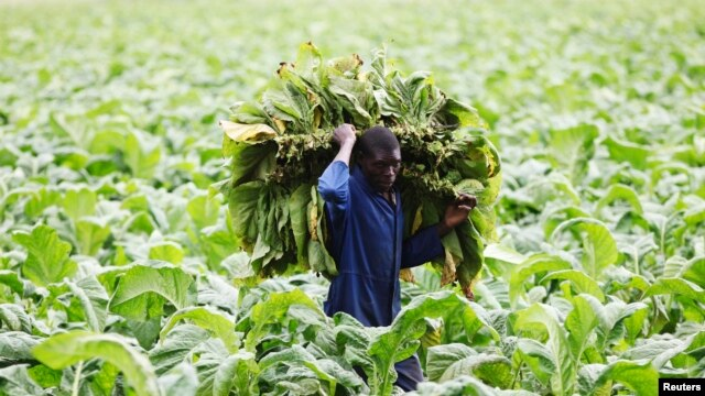 FILE - A farm worker harvests tobacco leaves at a farm ahead of the tobacco selling season in Harare, Zimbabwe. Farmers say they have been forced to sell seeds and fertilizers supplied by the government for the 2015-2016 planting season to avert a current hunger crisis.