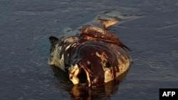 Cá thối trôi giạt vào một hòn đảo gần nơi dầu loang và ngư dân trong vùng đang lo ngại về những tác động dài hạn của vụ này