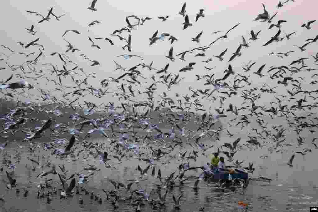 인도 뉴델리 야무나강에서 갈매기떼가 먹이를 주는 사람 주변에 몰려들었다.