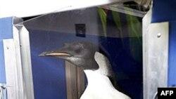 Happy Feet được đưa lên một tàu khảo cứu ngư nghiệp hôm 29/8/2011 để thực hiện cuộc hành trình trở về Nam Băng Dương