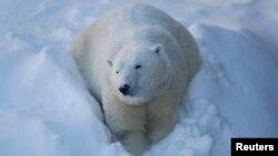 FILE - Taiga the polar bear looks on at the Quebec Aquarium in Quebec City, Quebec, Canada, Dec. 30, 2013.