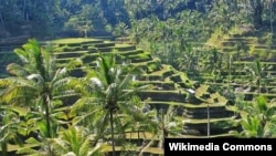 Organisasi PBB bidang pendidikan, ilmu pengetahuan, dan kebudayaan (UNESCO) resmi mengakui sistem pengairan pertanian di Bali atau Subak sebagai salah satu Warisan Budaya Dunia (20/5).