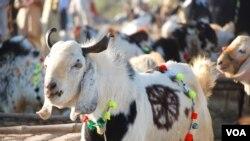 اسلام آباد میں مویشیوں کی ایک عارضی منڈی کا منظر