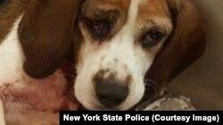 Một trong hai chú chó bị ném khỏi xe xuống đường cao tốc ở New York.