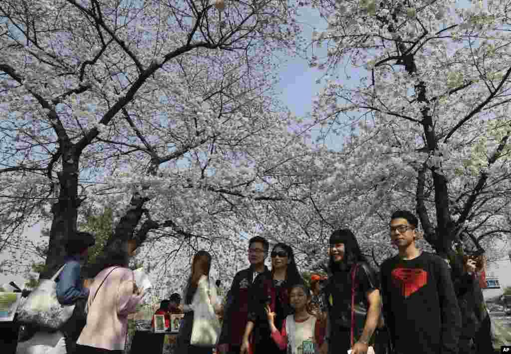 """2017年4月7日,在韩国首尔,人们在樱花树下合照。韩国有树木学家说:""""朝鲜半岛上多数樱花树都是土生土长的,起源于济州岛上的野樱树。"""" 当另一方面, 1945年日本战败后,朝鲜半岛部分地区出现""""砍掉樱花树""""的民间活动,以清除日军印记。这说明当初有些人认为樱花树来自日本。"""
