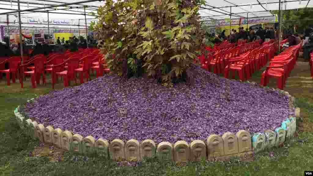 جشنوارۀ گل زعفران در شهر هرات