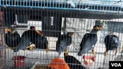 Burung beo yang akan diperdagangkan, berhasil digagalkan penyelundupannya di Pelabuhan Tanjung Perak, Surabaya (foto: Petrus Riski/VOA).