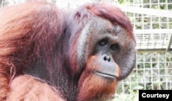Juve, Orangutan Kalimantan berusia 25 tahun, dilepasliarkan ke hutan Kehjen Sewen di Kabupaten Kutai Timur, Kalimantan Timur, Rabu 17 Februari 2021. (Courtesy: KLHK)