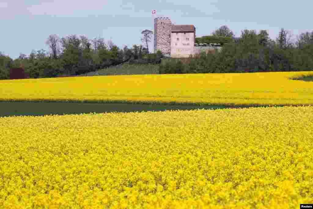 Schloss Habsburg castle, a medieval fortress, is seen behind rapeseed fields during sunny weather near the village of Habsburg, Switzerland.