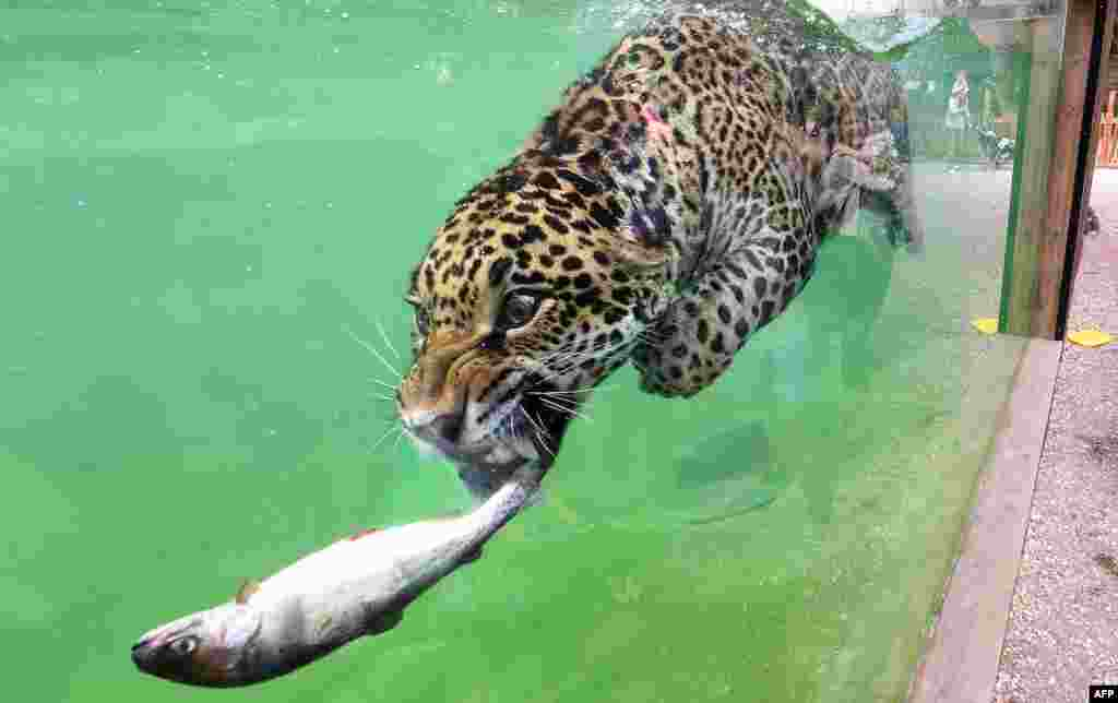 A jaguar (Panthera onca) hunts a fish as it swims in its enclosure at Pessac Zoo on the outskirts of Bordeaux, France.