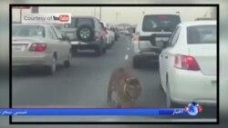 رانندگان قطری در بزرگراه با یک ببر سرگردان روبرو شدند