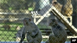 Healthy monkeys at the California National Primate Research Center in Davis, California. A new drug combination helped stave off a monkey version of HIV for nearly two years after stopping all treatments, raising hopes for a functional cure for HIV, U.S. researchers said on Thursday.