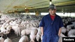 美國愛荷華州的養豬場農場主韋思林在其養有2400頭豬的豬舍裡。(2018年7月5日)
