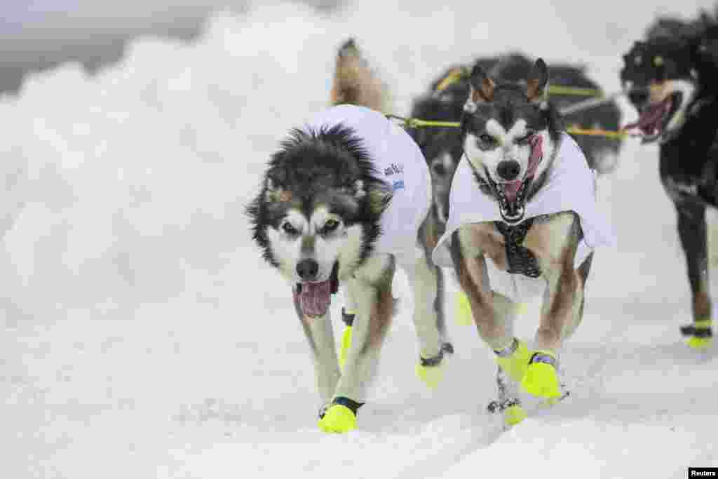 The lead dogs of musher Brent Sass race down 4th Avenue at the ceremonial start to the Iditarod dog sled race in downtown Anchorage, Alaska, March 2, 2013.