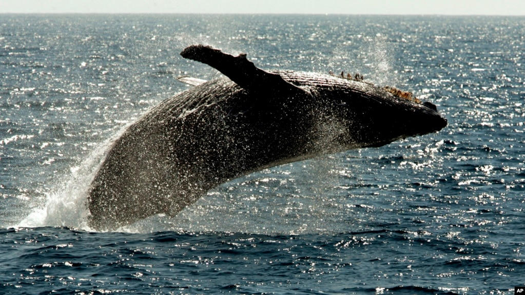 FILE - A humpback whale jumps out of the water off the coast of Lahaina on the island of Maui in Hawaii. Researchers with Macquarie University used a drone to collect whale mucus from humpback whales at sea.