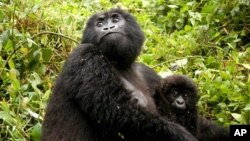 In this photo taken on Thursday, June 23, 2005, Kampanga, a female adult mountain gorilla, with her baby, in the Volcanoes National Park in Rwanda. (AP Photo/Riccardo Gangale)