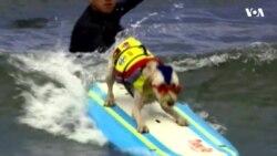 У Каліфорнії відбувся чемпіонат світу поміж собак-серферів. Відео