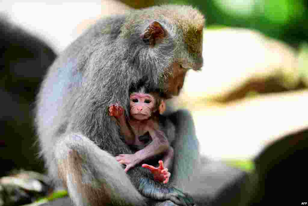 Balinese long-tailed monkeys, Macaca fascicularis, are pictured in the Sacred Monkey Forest in Ubud, Bali, Indonesia.