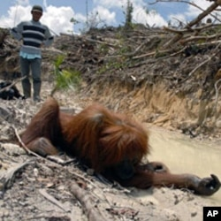 A member of a rescue team walks towards an unconscious orangutan after it received an anesthetic shot at the Damage rainforest in central Kalimanatan province (File)