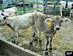 牧民把牛送去拍卖