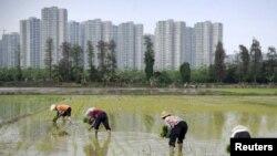 Nông dân Trung Quốc cấy lúa ở tỉnh Quảng Đông.
