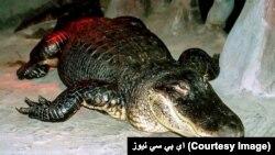داسې ګمان دی چې دا تمساح هټلر په یو ژوبڼ کې د خپل شخصي ملکیت په توګه ساتله.
