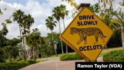 At the University of Texas Rio Grande Valley, in Brownsville, Texas, a crossing sign featuring the ocelot — a former school mascot — remains on campus. However, you are unlikely to spot one anywhere in the country. Biologists have estimated there are fewer than 50 in the U.S.
