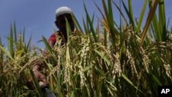 印度的一位农民在收割庄稼,气候变化可能导致印度丧生5%的庄稼生长期
