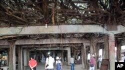 好大一棵树,澎湖大榕树
