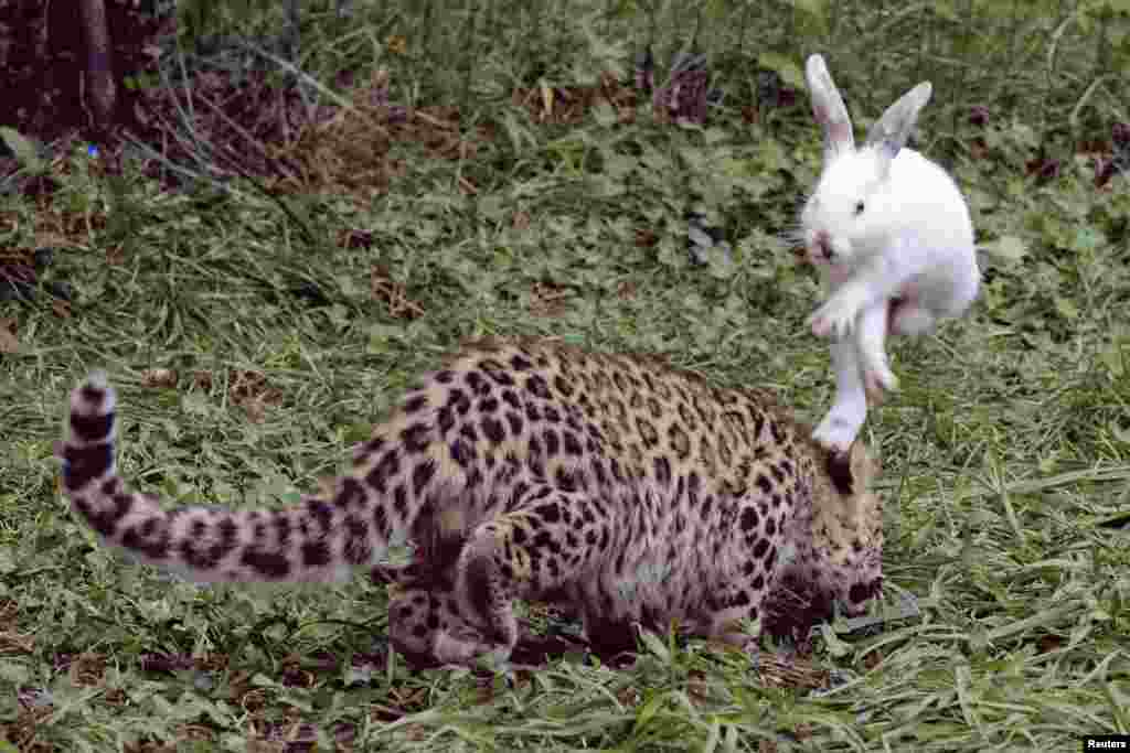 A rabbit hops to avoid a five-month-old leopard cub during a test of the cub's wild natural instincts at a wildlife park in Qingdao, Shandong province, China, Sep. 10, 2013.