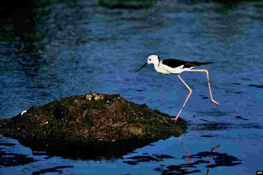 A black-winged stilt checks eggs in its nest on a wetland in Hsinchu, Taiwan.