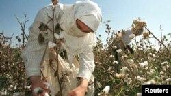 FILE - An Uzbek woman picks up cotton in a field outside Tashkent.