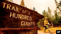 "Seorang petugas pemadam kebakaran berupaya memerangi Windy Fire yang bergerak mendekati jalan setapak ""Trail of 100 Giants"" di hutan nasional Sequoia, California, 19 September 2021. (AP Photo/Noah Berger)"