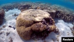 FILE - A large piece of coral can be seen in the lagoon located on Lady Elliot Island and 80 kilometers north-east from the town of Bundaberg in Queensland, Australia, June 9, 2015. The Great Barrier Reef is a World Heritage site that brings Australia $5 billion per year in tourism.
