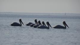 Pelikani kaçurrel, një veçanti shqiptare