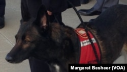Senna, a 9-year-old Belgian Malinois, is a veteran mine-detection dog who sniffed her way across 1.5 million square meters of Afghanistan during 5-1/2 years of working with the U.S. Air Force there.