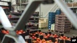 창고에 묶여있는 유럽의 토마토 상자들