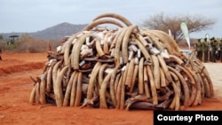 Ngà voi bị tịch thu tại Singapore được trao trả về Kenya để thiêu hủy hồi năm 2002