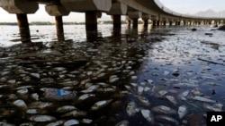 Ikan mati dan sampah mengapung di Pantai Guanabara di Rio de Janeiro, Brazil (25/2), salah satu lokasi kompetisi olahraga air dalam Olimpiade 2016. (AP/Leo Correa)
