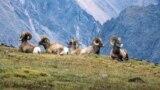 Bighorn sheep roam the Rocky Mountain National Park