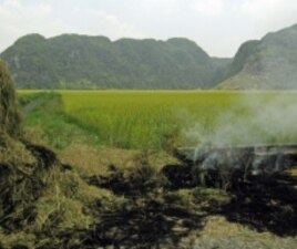 What farmers do with rice straw after harvest -- burn it or return it to the field -- affects how much fertilizer to use.