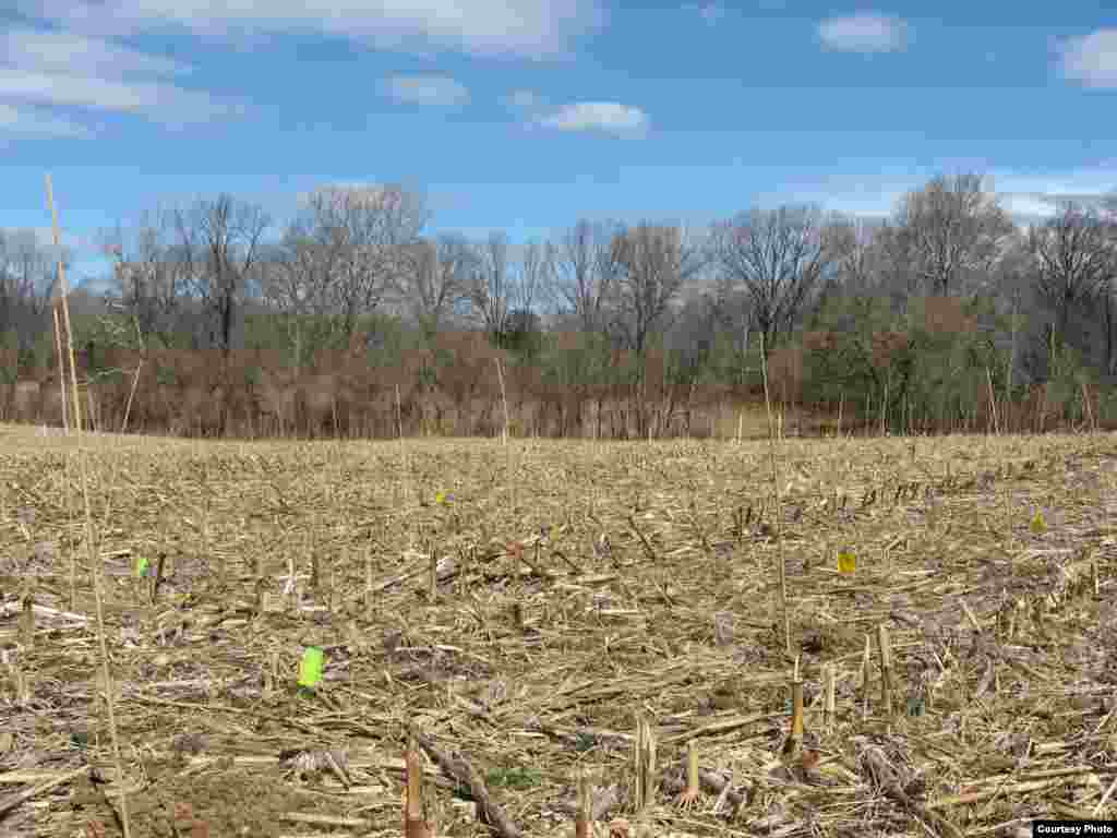 Prior to the massive BiodiversiTree project, this field was used to grow corn for 35 years. (SERC)