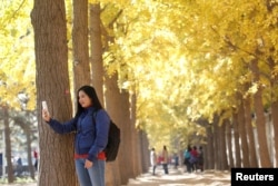 A woman takes pictures under ginkgo trees outside Diaoyutai State Guest House on a late autumn day in Beijing, China, November 2018. REUTERS/Jason Lee.