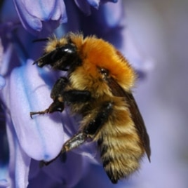 Bumblebees pollinate tomatoes, raspberries, strawberries and other fruits and vegetables.