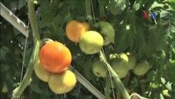 Bãi rác ở Latvia giúp trồng cà chua