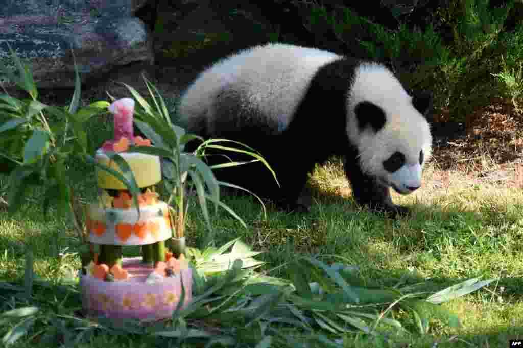 在法国出生的第一只熊猫圆梦度过一岁生日,博瓦勒动物园用竹子、蜂蜜、苹果、橘子、草莓和柠檬做了生日蛋糕 。这一天任何一个8月4号出生的人都可以免费游览博瓦勒动物园。圆梦的父母亲圆仔和欢欢是中国2012年租给法国的,租约为10年。目前在欧洲有大熊猫的国家有奥地利、英国、比利时、法国、德国、荷兰、西班牙和芬兰。