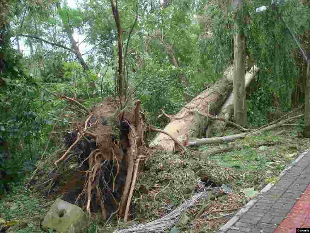 Vendaval derruba árvore pela raiz na rua Marechal Deodoro, Centro de Tubarão, Santa Catarina.