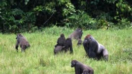 Apes in the Sangha Tri-National Protected Area. (Thomas Breeuer / WCS)