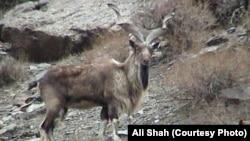 پاکستان کا قومی جانور مار خور جسے نسل کی معدومی کے خطرے کا سامنا ہے۔